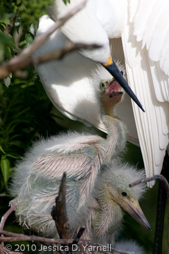 Snowy Egret mother and babies.  Gatorland Rookery.