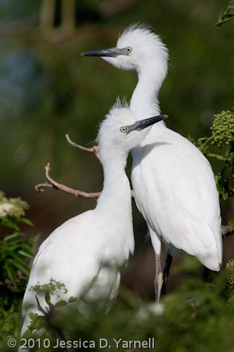 Cattle Egret fledglings