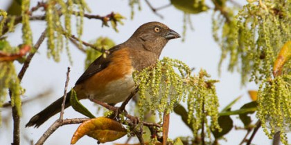 Eastern Towhee (Female)