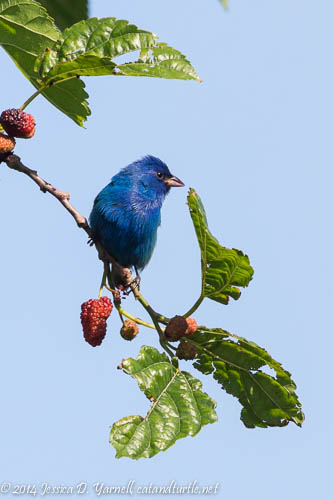 how to keep birds from eating mulberries