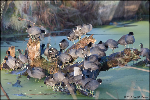 Bunch of Coots, Circle B Bar Reserve