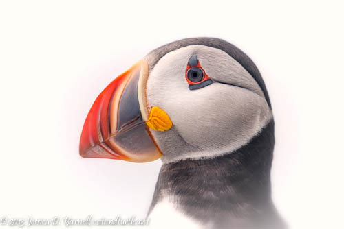 Atlantic Puffin Head Shot