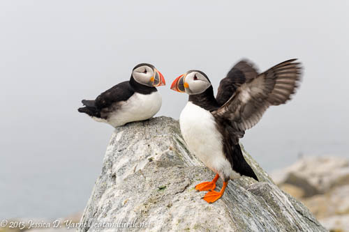 Atlantic Puffins on Machias Seal Island