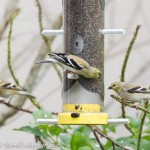 Backyard Birding with My American Goldfinches