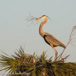 Great Blue Herons Stealing Sticks at Viera Wetlands