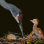 Sandhill Crane Memories and Topaz Glow