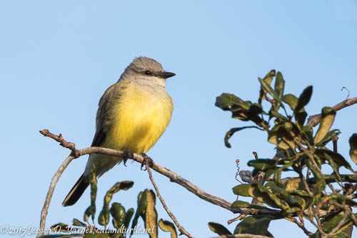 Cox Road Kingbird Roost (Polk)