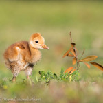 "Baby Sandhill Crane ""Uno"" at Day 6"