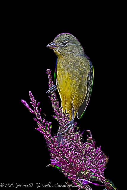 Painted Bunting on Flower