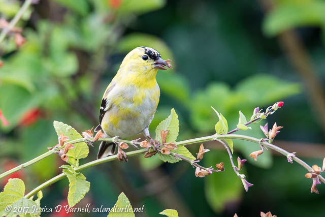 American Goldfinch on Salvia