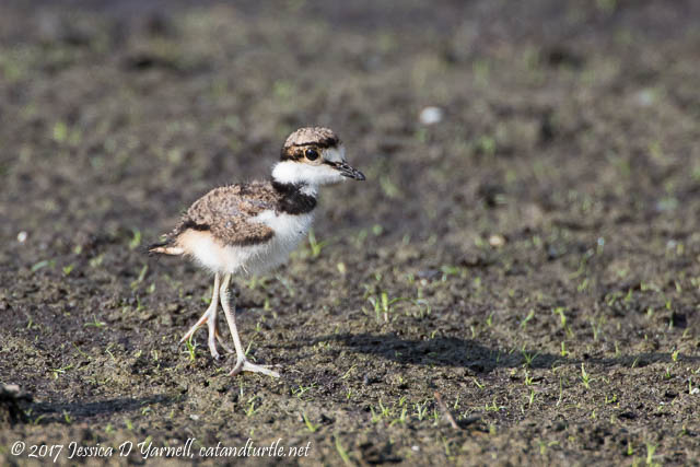 Killdeer Baby. Photographed along Interceptor Road.