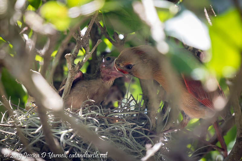 Northern Cardinal feeding Baby at Nest