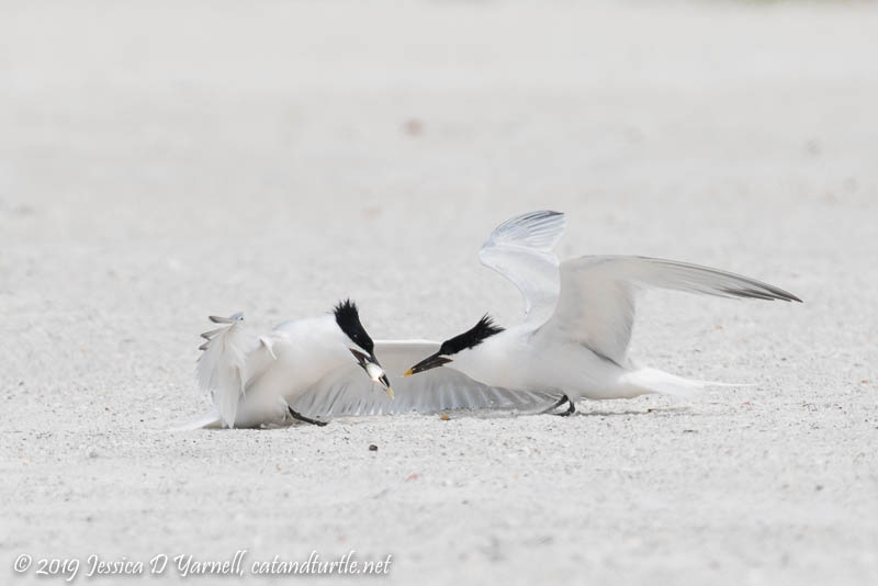 Sandwich Tern Fish Exchange