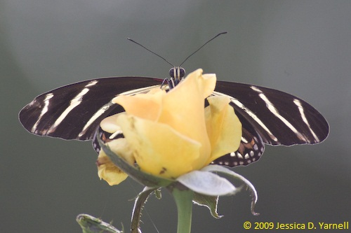 'Gold Medal' Butterfly