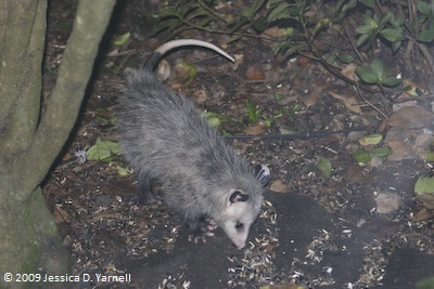 Squirt's opposum is back