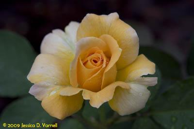 'Honey Perfume' rose